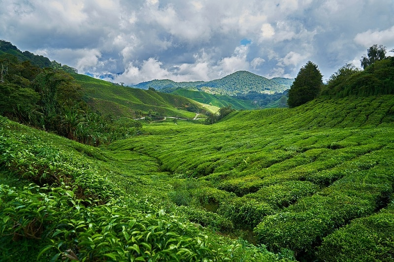 Grüner Tee Abnehmen Erfahrungen